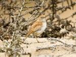 Dune Lark (Calendulauda erythrochlamys)