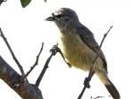 Cape Penduline-Tit