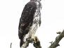Hawk-Eagles