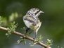 Tinkerbirds