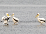 Great White Pelicans (Walvis Bay)