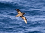White-chinned Petrel (West Coast)