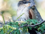 White-browed Coucal (Centropus superciliousus)