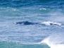 Balaenidae - Bowhead & Right Whales