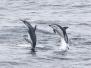 Delphinidae - Dolphins