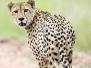 Felidae - Cats