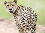 Cheetah male (Acinonyx jubatus)