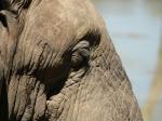 African Elephant - Mapunbugwe