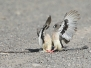 Mousebirds