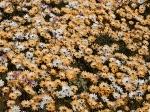Osteospermum pinnatum