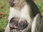 Vervet monkey (Chlorocebus pygerythus)