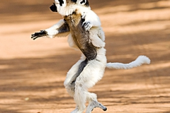 Strepsirrhine Primates